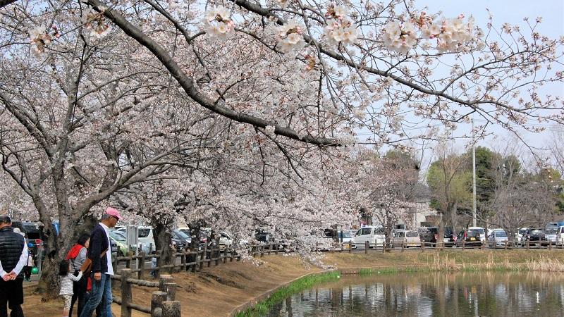 「マイ桜」募集 あなたの一押しの桜を推薦してください